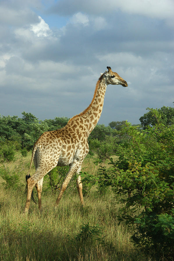 Mammal Photograph - Standing Alone - Giraffe by Jeffrey Worthington