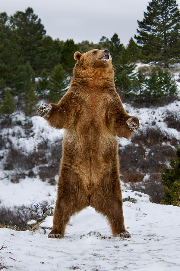 Standing Grizzly Bear Photograph by Scott Read