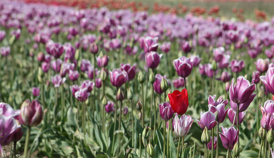 Tulips Photograph - Standing Out In A Crowd by Nick Gustafson
