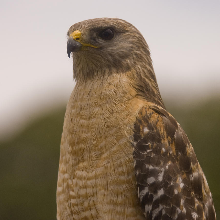 Hawk Photograph - Standing Proud by Anthony Towers
