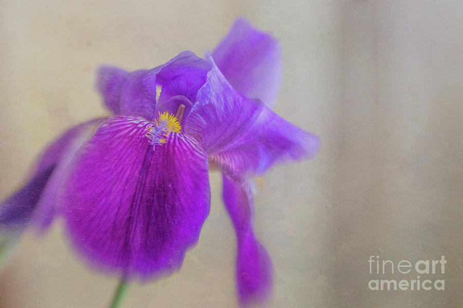 Standing Tall And Proud Purple Iris Photograph