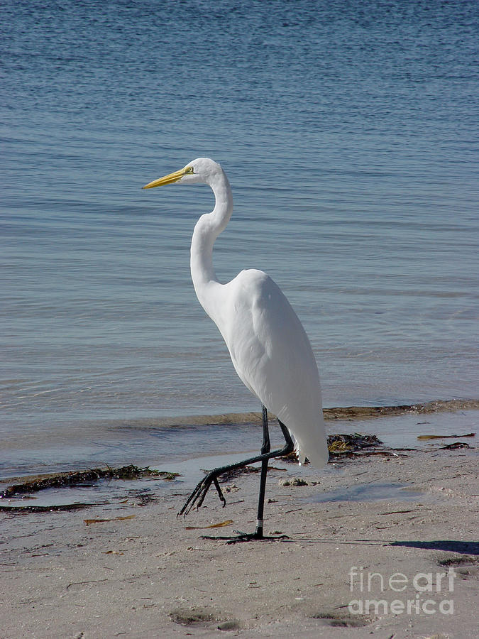 Egret Photograph - Standing Tall by Leigh Karchner