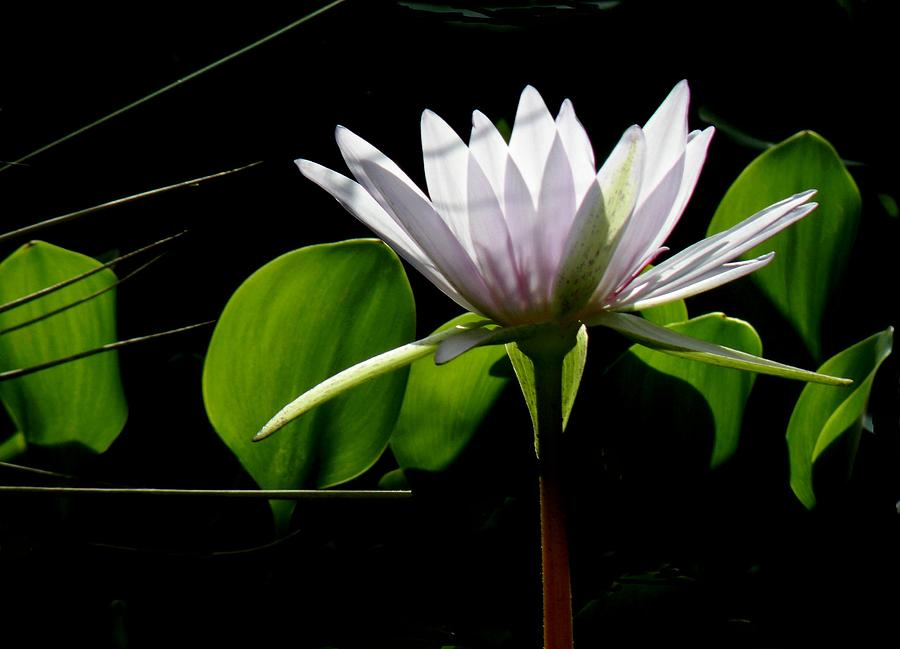 Water Lily Photograph - Standing Tall by Rosalie Scanlon