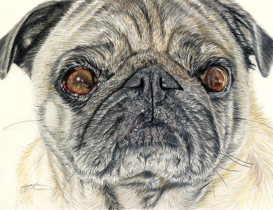 Dogs Drawing - Stanley by Joanne Stevens