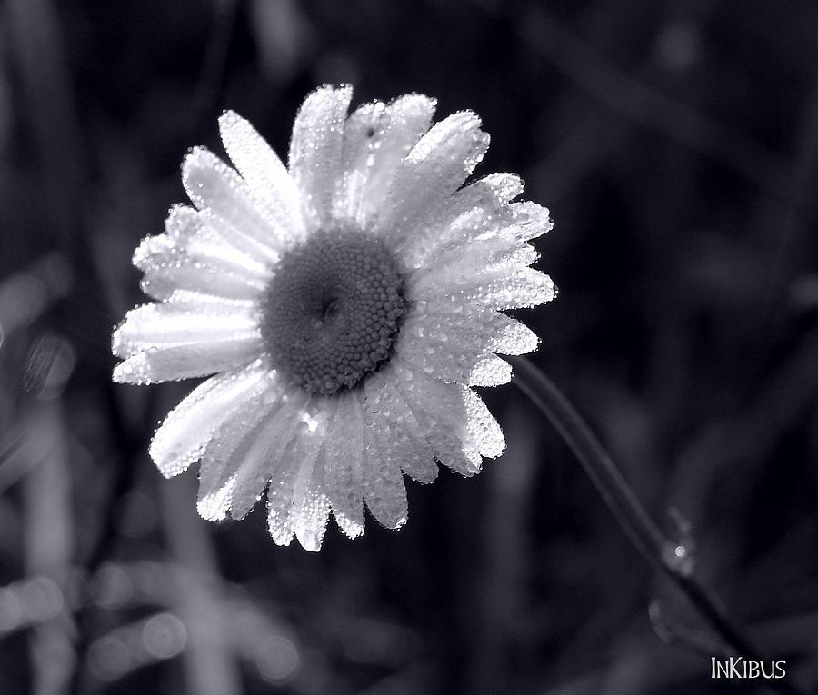 Daisy Photograph - Star Daisy by Alana  Schmitt