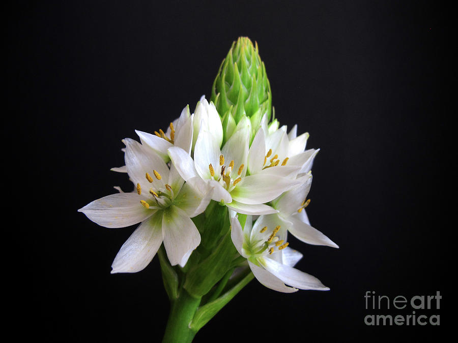 Star of Bethlehem by Kelly Holm