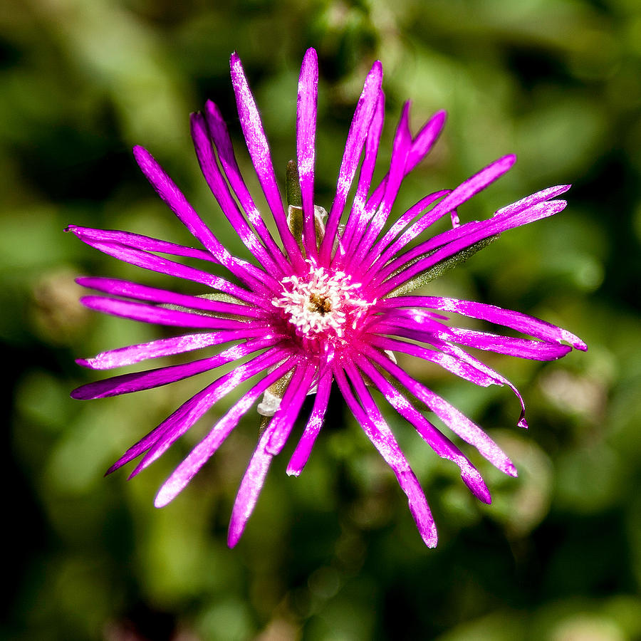 Flower Photograph - Starburst Of The Wildflowers by John Haldane