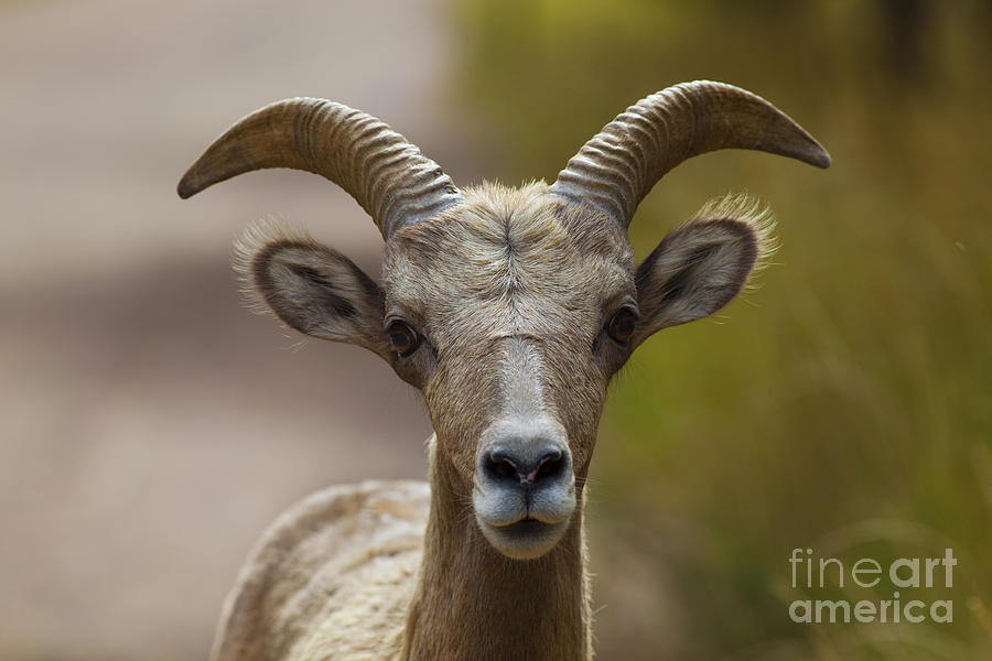 Colorado Photograph - Stare Down by Barbara Schultheis