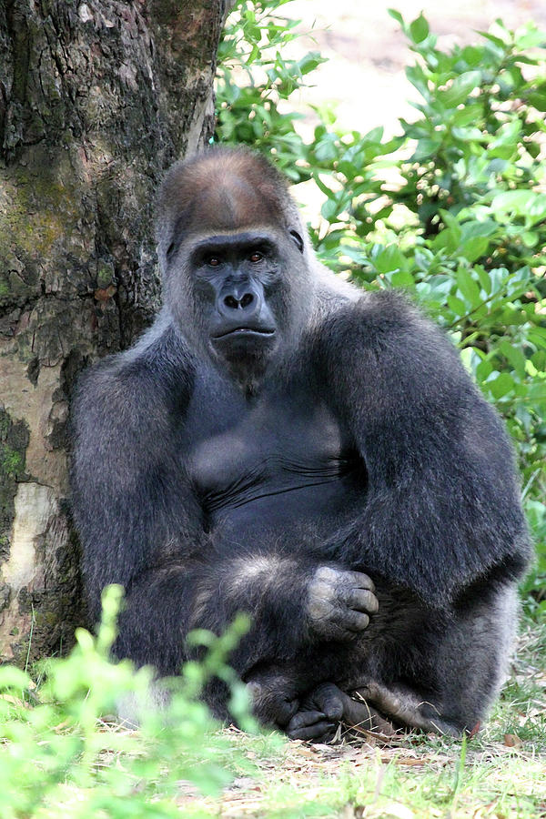 Gorilla Photograph - Stare Down by Mary Haber