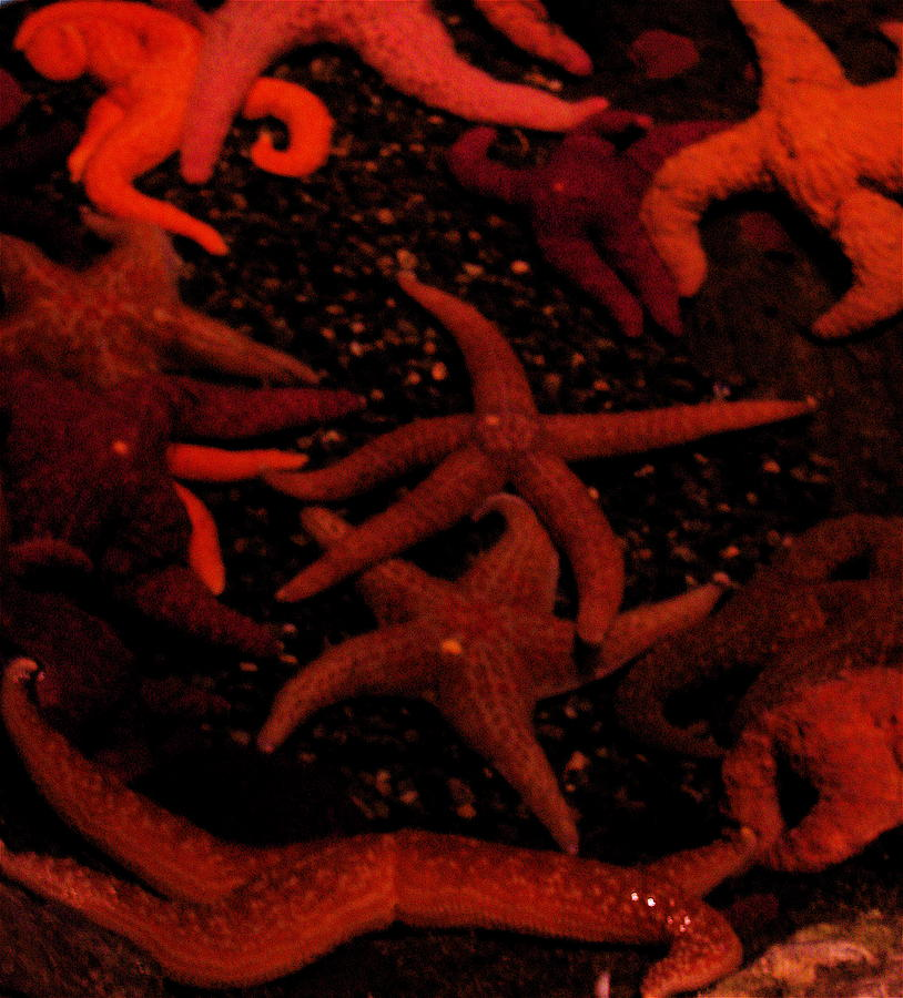 Starfish Photograph - Starfish Mania by Jess Thorsen