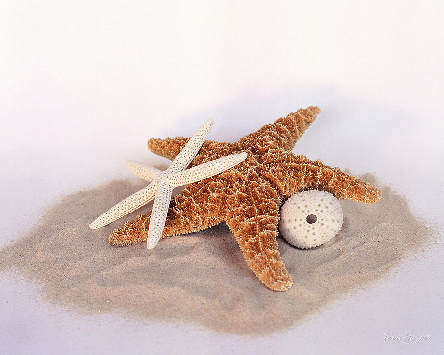 Starfish Still Life by Terri Harper