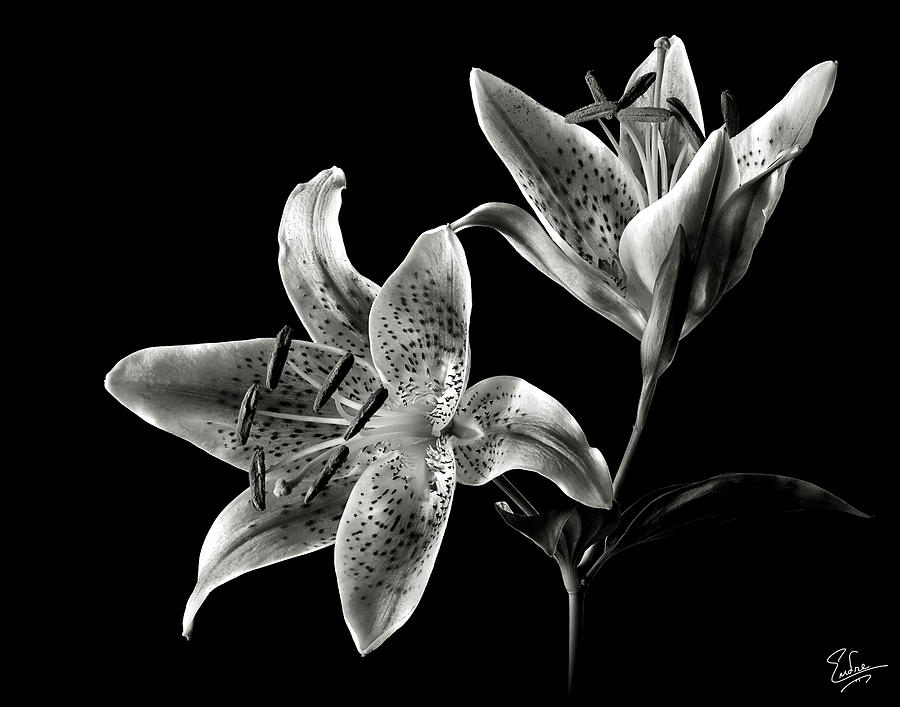 Flower Photograph - Stargazer Lily In Black And White by Endre Balogh