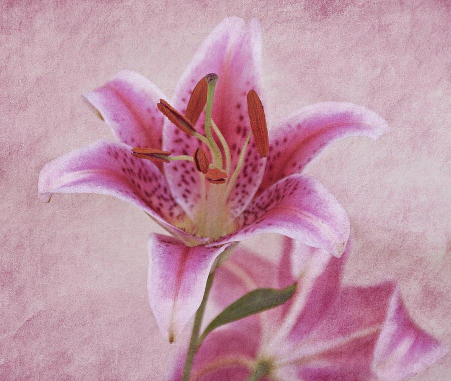 Stargazer Lily by Sandy Keeton