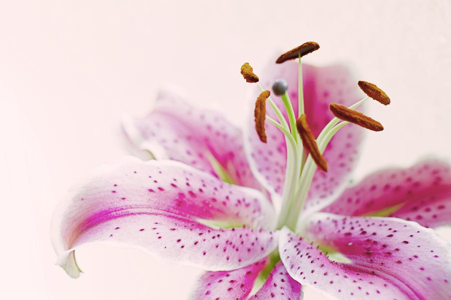 Lily Photograph - Stargazer by Rebecca Cozart