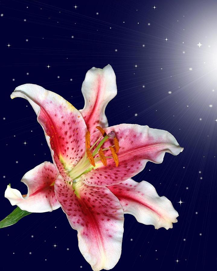 Lily Photograph - Stargazing by Kristin Elmquist