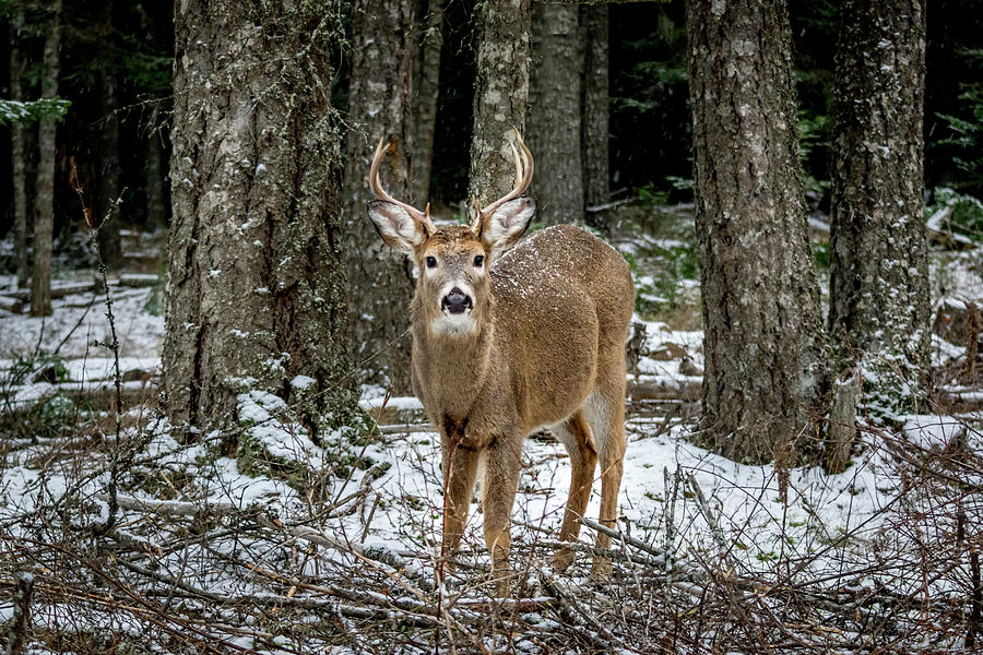 Wildlife Photograph - Staring Buck by Lester Plank
