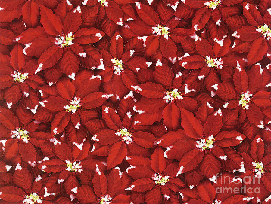 Poinsettia Painting - Starlight Christmas V by Mindy Sommers