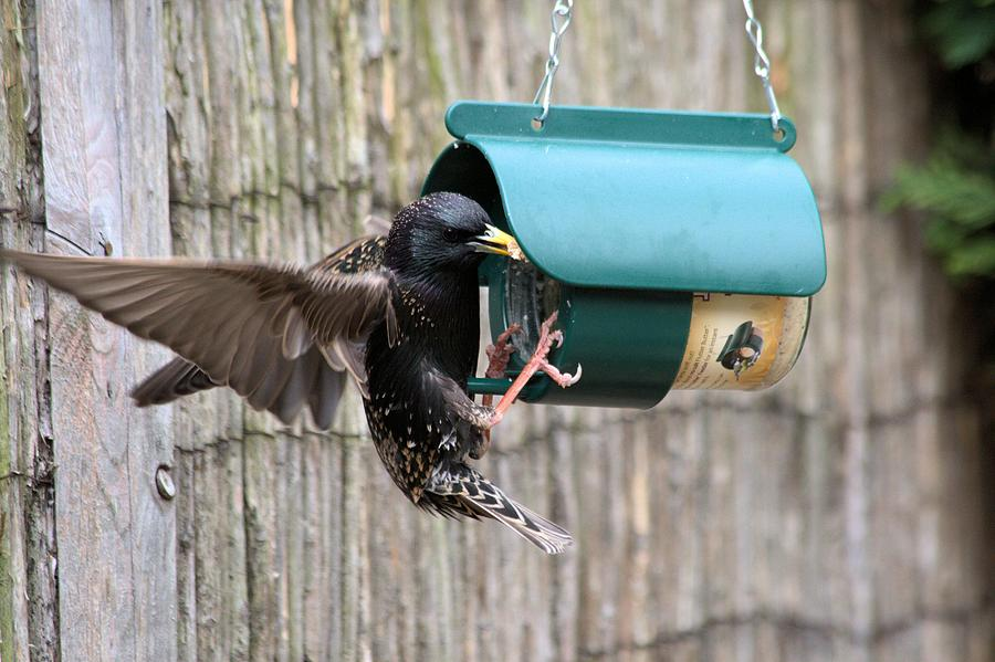 Starling On Bird Feeder Photograph by Gordon Auld