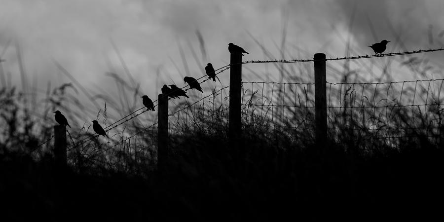 Starlings Photograph