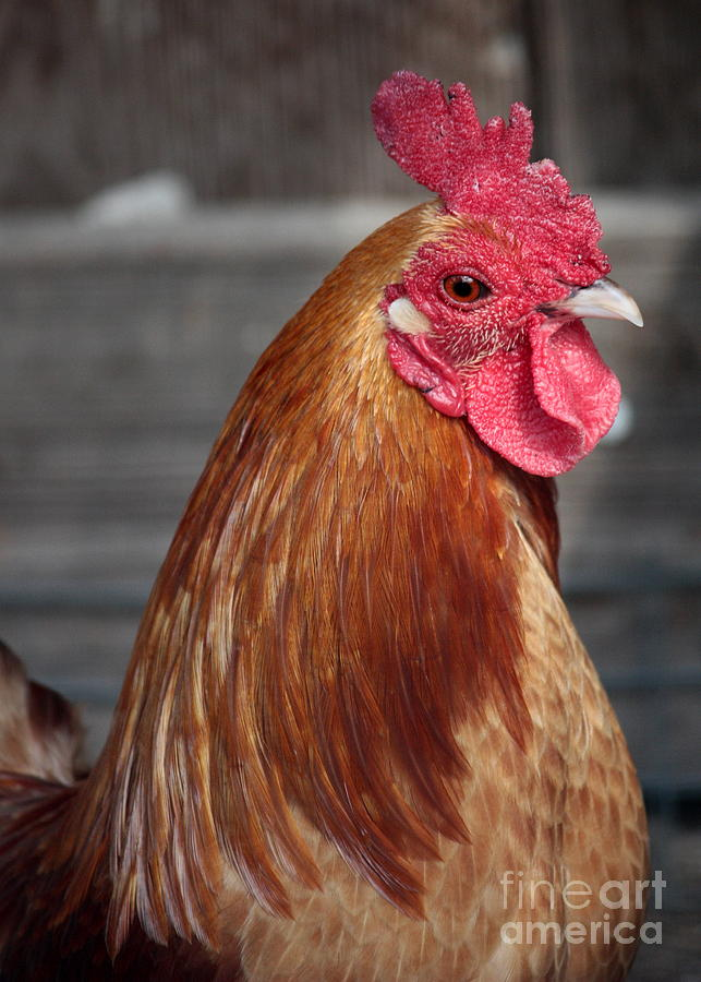 Chicken Photograph - State Fair Rooster by Carol Groenen