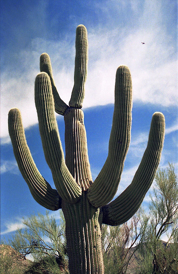 Cactus Photograph - Stately Saguaro by Suzanne Gaff