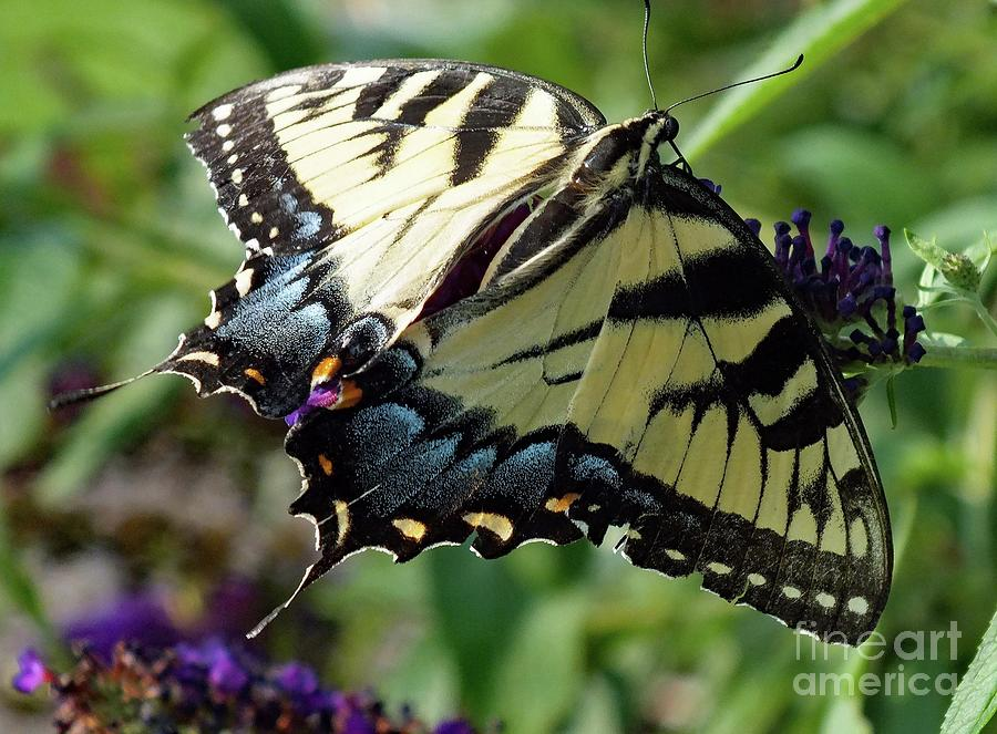 Stealth - Eastern Tiger Swallowtail Photograph