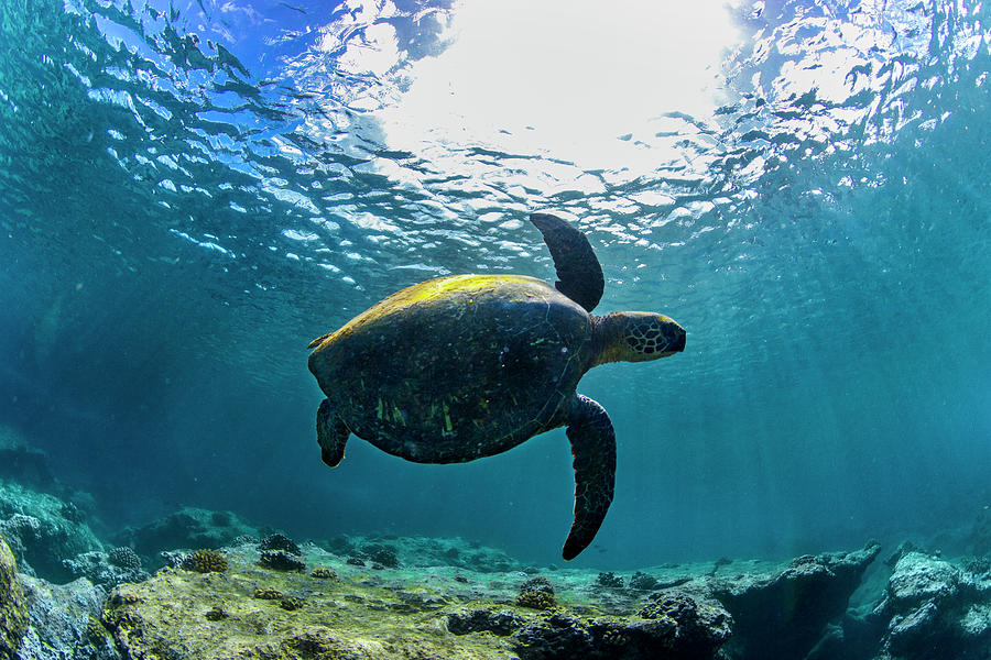 Under Water Photograph - Turtle Turn by Sean Davey