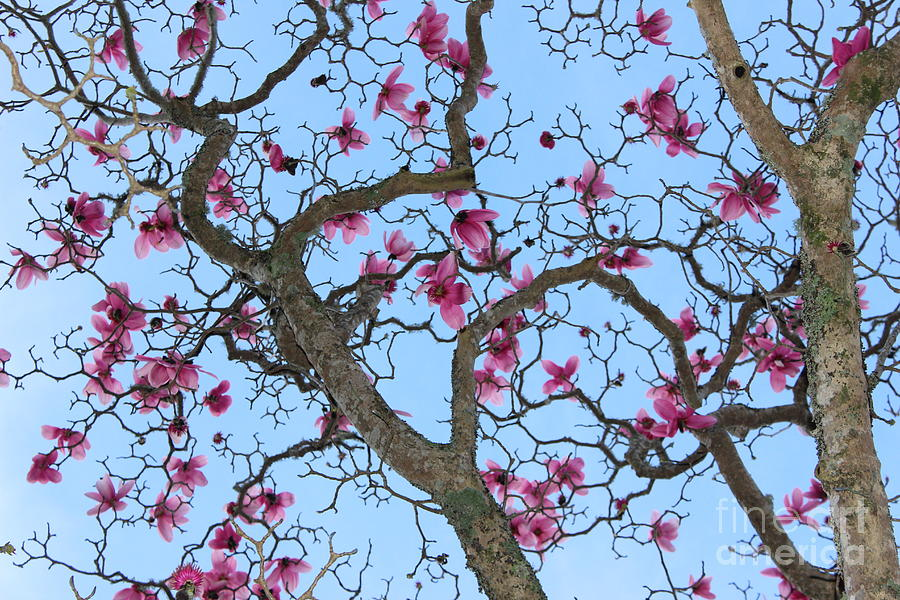 Steel Magnolias Photograph By Whitelens Nz