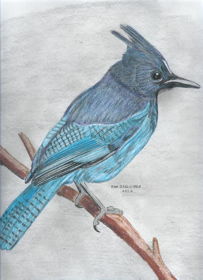 Bird Drawing - Stellars Jay by Don  Gallacher