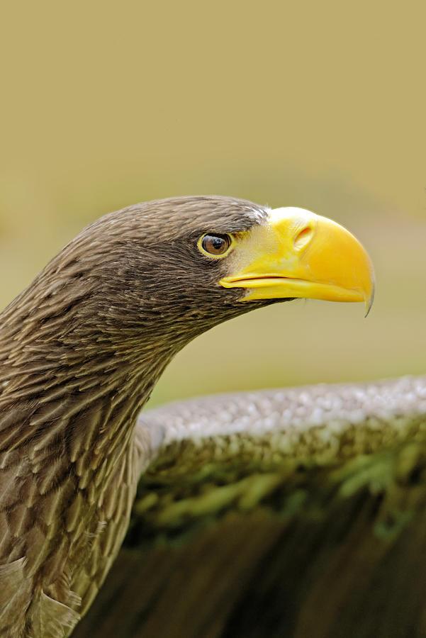 Stellers Sea Eagle - Haliaeetus Pelagicus Photograph