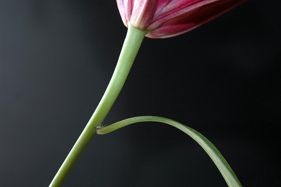 Flower Photograph - Stem And Leaf by Dan Holm