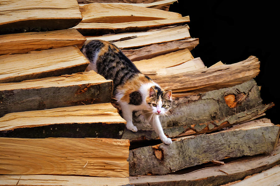 Calico Cat Photograph - Stepping Down - Calico Cat On Beech Woodpile by Menega Sabidussi
