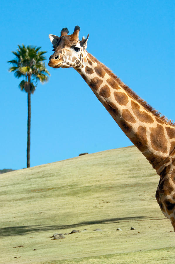 Giraffe Photograph - Sticking Your Neck Out by Melody Watson