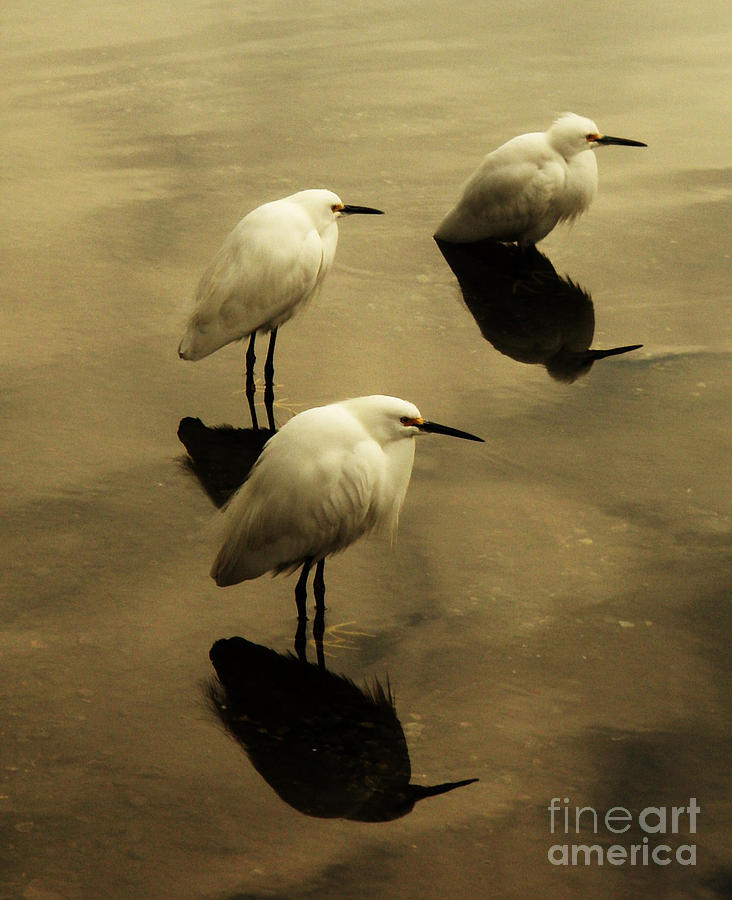 Egrets Photograph - Still by Daniele Smith