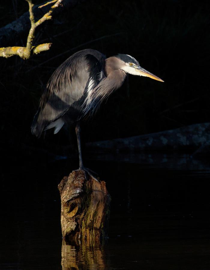 Great Blue Heron Photograph - Stillness on the Hunt by Sheldon Bilsker