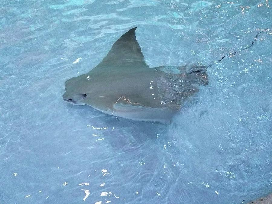 Sting Ray Photograph by April Keller