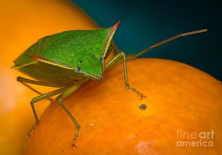 Stink Bug Photograph - Stink Bug On Kumquats by Warren Sarle