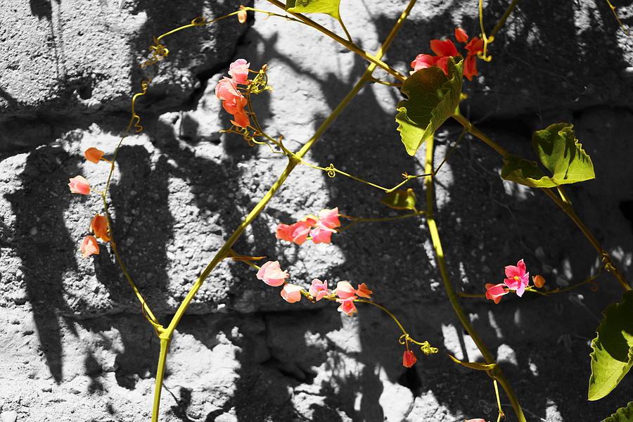 Stone and Vine Photograph by Colleen Cornelius