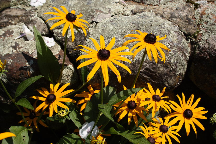 Landscape Photograph - Stone Flowers Black Eyed Susan by Doug Mills
