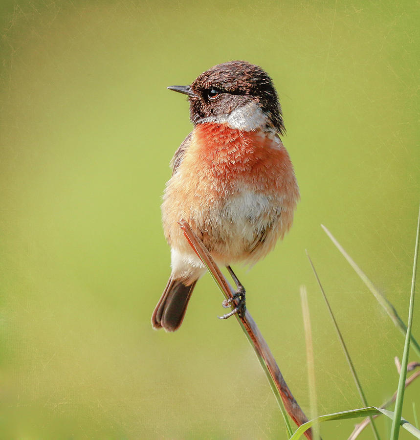 Stonechat Photograph - Stonechat by Roy McPeak