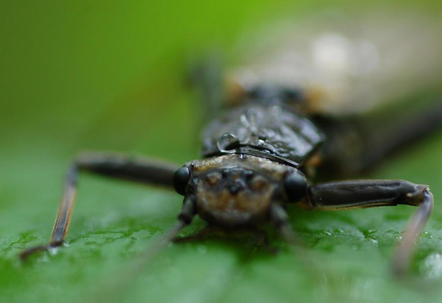 Macro Photograph - Stonefly by Scott Gould