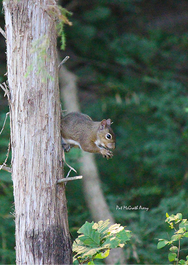 Squirrel Photograph - Stopping For A Snack by Pat McGrath Avery