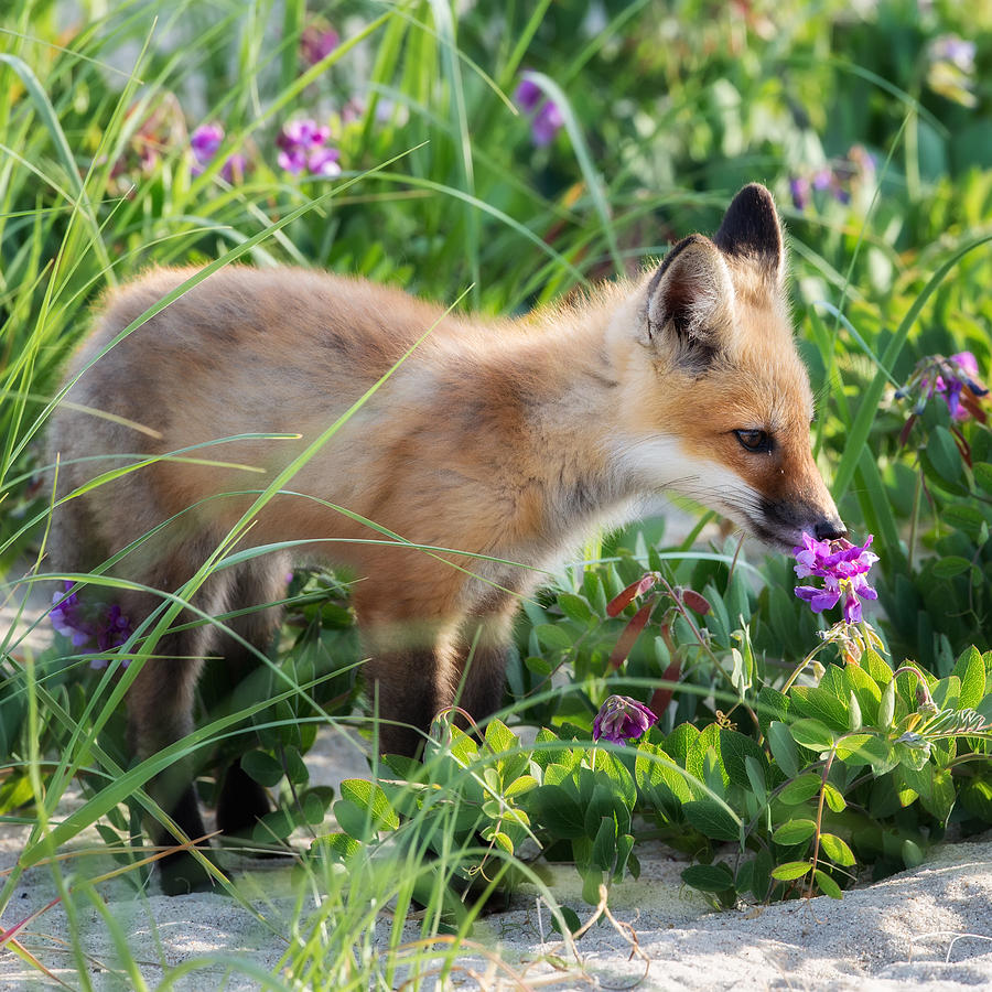 Red Fox Photograph - Stopping To Smell The Flowers by Bill Wakeley