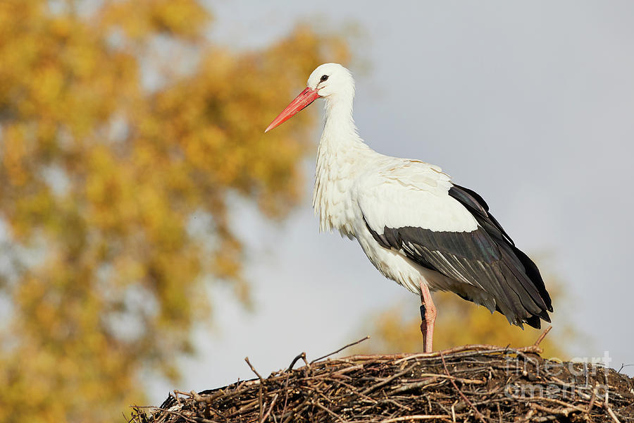 Stork On A Nest, Trees In The Background Photograph