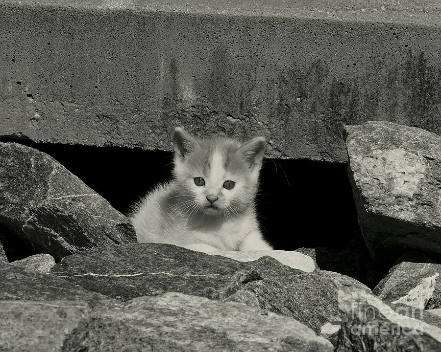 Kitten photograph storm drain kitten black and white by mc lewis