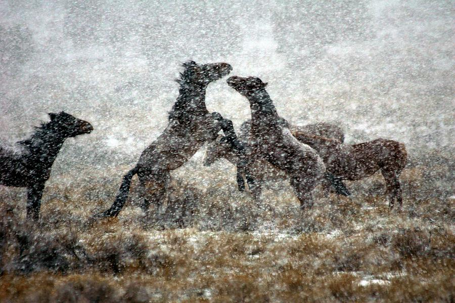 Equine Photograph - Storm Fight by Gene Praag