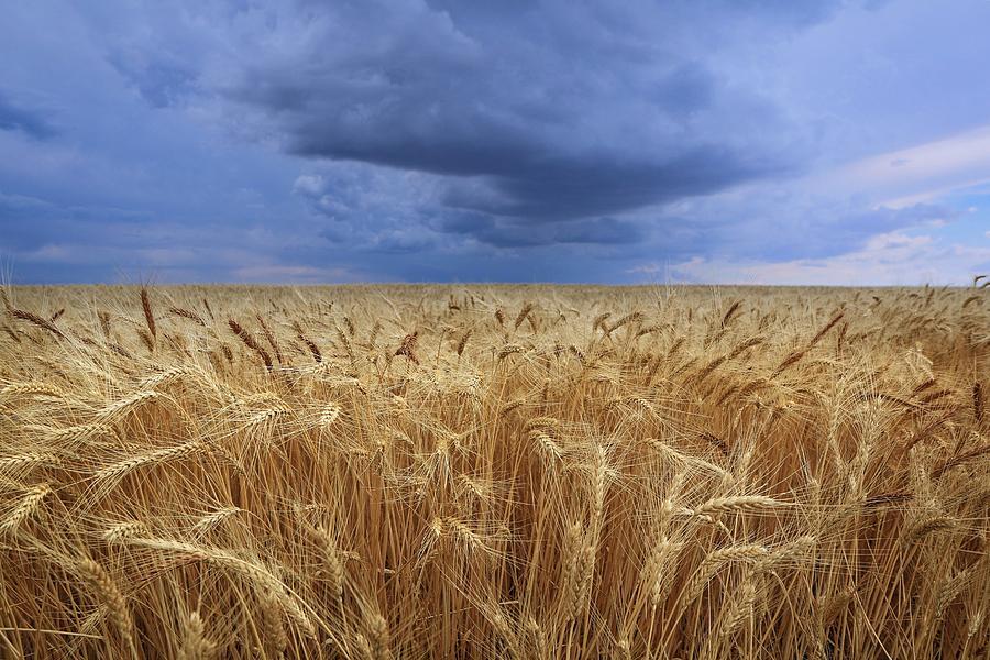 Wheat Photograph - Stormy Wheat Field by Lynn Hopwood