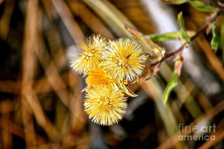 Straw Flowers Photograph by Christine Scott