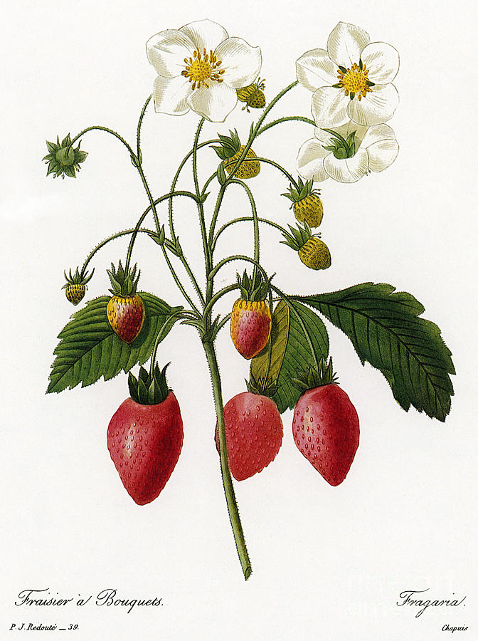 1833 Photograph - Strawberry by Granger