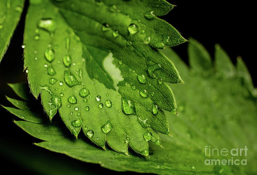 Strawberry Leaf by Ty Shults